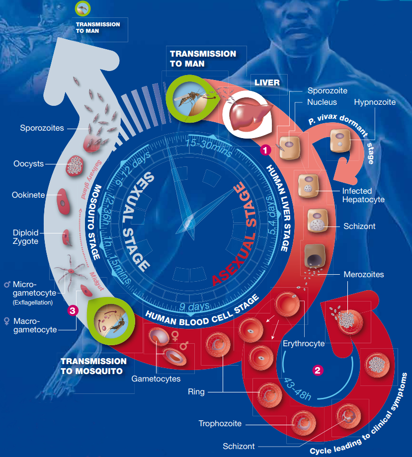 Lifecycle of the malaria parasite, curtesy of Medicines for Malaria Venture (MMV). Timings are for <i>Plasmodium falciparum only</i>. Original image available at <a href='https://www.mmv.org/malaria-medicines/parasite-lifecycle' target='_blank'>https://www.mmv.org/malaria-medicines/parasite-lifecycle</a>